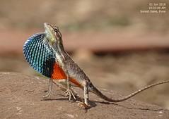 DSC01682 (Prof.Suresh G. Isave) Tags: endangered species chameleon ftl rare indai bio diversity india western ghat