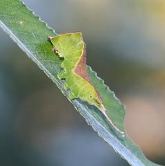 Puss Moth Caterpillar! (RiverCrouchWalker) Tags: ceruravinula caterpillar pussmoth insect invertebrate rhs rhshydehall rettendon essex summer june 2018 willow leaf