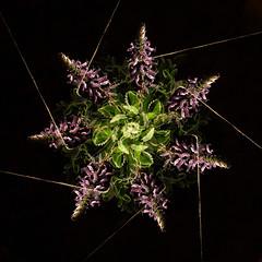 Geometría floral (Antonio Martínez Tomás) Tags: rotación flores labiada geometría
