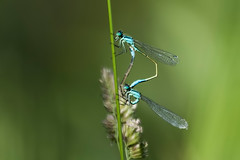 COMMON BLUE DAMSELFLY (_jypictures) Tags: animalphotography animals animal canon canon7d canonphotography wildlife wildlifephotography wiltshire naturephotography nature photography pictures dragonfly dragonflyphotography damselfly commonbluedamselfly mating dragonflymating damselflies