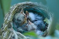 Three Sleepy Baby Redwing Blackbirds (Kitty Kono) Tags: babies chicks redwingblackbird kittyrileykono easternuniversitypond