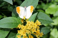 Great Orange Tip butterfly (karma (Karen)) Tags: wheaton maryland brooksidegardens wingsoffancy butterflyexhibit greatorangetip flowers dof bokeh hbw cmwd