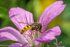 La visiteuse (corinnevansteelandt) Tags: insecte fleur nikon nature belgique reflex d7100 macro animaux animal photographie tamron 90mm28 printemps rose vert green pink