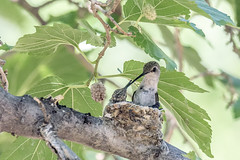 ...one more to go (Tom Kilroy) Tags: blackchinnedhummingbird female chick immature feeding bird nature animal wildlife branch tree beak feather outdoors animalsinthewild closeup animalwing perching beautyinnature small greencolor forest eating
