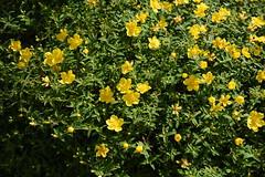 DSC_0279 (PeaTJay) Tags: nikond750 reading lowerearley berkshire macro micro closeups gardens outdoors nature flora fauna plants flowers rose roses rosebuds