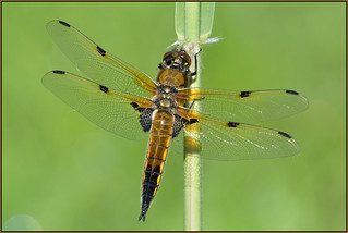 Four-spotted Chaser (image 1 of 2)