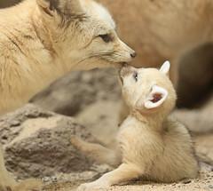Fennec artis JN6A4846 (j.a.kok) Tags: fox vos woestijnvos dessertfox fennek fennecfoxfennecuszerdavulpeszerdavulpes artis animal mammal zoogdier dier predator africa afrika