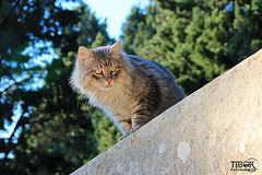 Cat @ Sibenik. (morbidtibor) Tags: cat kat kater poes kitten sibenik croatia fort stivana