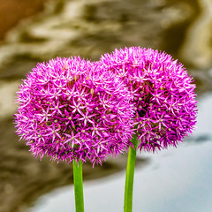 Ornamental Onion Duo (Marc Rauw.) Tags: ornamentalonion allium flower flora flowers purple pink nature springtime spring summer colourful colorful colours colors circular circle two water duo bright squareformat square olympusomdem5markii olympus omd em5 mzuiko40150mm mzuiko 40150mm microfourthirds m43 μ43 garden