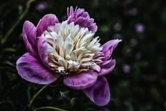 Pink (anderswetterstam) Tags: seasons spring flowers nature floral botanical growth freshness beginnings fragility garden