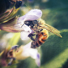 Close-up photo of a Western Honey Bee gathering nectar and spreading pollen on a flower (Kartlyn Earth & ArtKN) Tags: bee bees honey flower hive bug bugs collecting color colour daisies daisy distribute flowers garden gathering honeybee insect insects macro nectar outside pollen spread spreading spreads western yellow macrophotography iphonephotography iphone artkn