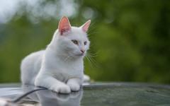Katty (10) (Vlado Ferenčić) Tags: katty kitty kittens vladoferencic catsdogs cats vladimirferencic animals animalplanet nikond600 nikkor8518 zagorje hrvatska croatia klenovnik bokeh dof