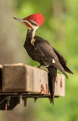 Woody (Ronda Hamm) Tags: 100400mkii 7dii bird eaglecreekpark pileatedwoodpecker canon nature woodpecker