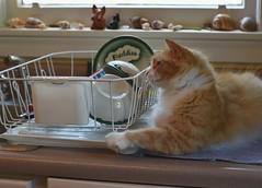 Jimmy and the dish drainer (rootcrop54) Tags: jimmy orange ginger tabby male cat obsession dishdrainer kitchen counter neko macska kedi 猫 kočka kissa γάτα köttur kucing gatto 고양이 kaķis katė katt katze katzen kot кошка mačka gatos maček kitteh chat ネコ