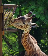 Murphy's Friend (MTSOfan) Tags: tatu masai giraffe lvz
