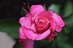 Pink rose (hopedorman) Tags: plant nature botany flower flora natural bloom floral spring pink green bush rose