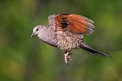Inca Dove (Eric Gofreed) Tags: arizona dove elephantheadpond incadove santacruzcounty