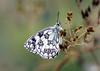 Marbled White (Melanargia galathea) (RiverCrouchWalker) Tags: melanargiagalathea marbledwhite june summer 2018 butterfly fenncreek southwoodhamferrers essex insect invertebrate