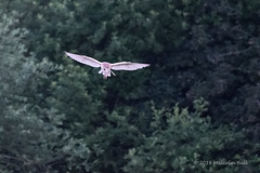 Barn Owl - Woods Mill (148) (Malcolm Bull) Tags: include woods mill barn owl 20180620woodsmill0148edited2web