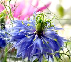 Blue Wonder (barbara_donders) Tags: natuur nature spring lente bokeh macro flowers bloemen blauw mooi prachtig beautiful magical boeket bouquet