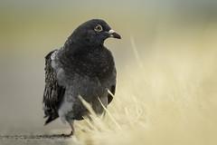 Pigeon (Rob Blight) Tags: pigeon bird avian grass drygrass bokeh shallowdof animal wild wildlife fauna d850 nikond850 200500 200500mm