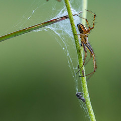 2018-06-16--Pagny0104.jpg (heiserge) Tags: france pagnylablanchecôte macro araignée nature insectes meuse europe lorraine macrophotographie animal animaux