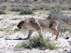 Lioness in Etosha (Nevrimski) Tags: lion lioness etosha namibia
