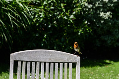 Curious robin (PChamaeleoMH) Tags: birds garden home macro robins