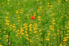 Three colors (Jurek.P) Tags: pole mak poppy plants red yellow green mazury masuria poland polska jurekp sonya77