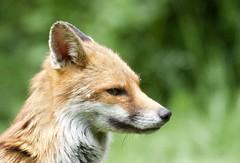 Day dreaming Fox. (Explored 21/6/18) (Alan McCluskie) Tags: fox redfox urbanfox ukmammals ukwildlife swindon canon7dmk2 sigma150600mmsp explore inexplore