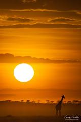 Giraffe at Sunrise (Tony Costa (eTravelPhotos)) Tags: africa giraffes masaimara wildlife mammals sunsets kenya animal fauna nature sunrises