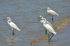 Reunião à beira-mar (Márcia Valle) Tags: suldabahia bahia brasil brazil márciavalle nikon d5100 beiramar seaside aves garças herons birds barradecaravelas caravelas