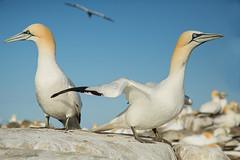 COLONIA DE ALCATRACES (Carlos Cifuentes) Tags: alcatraz sulabassana mascatocomún morusbassanus alcatrazatlántico carloscifuentes wildlife nature wildlifenature bird birds northerngannet