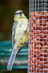 Juvenile blue tit (Jaap Mechielsen) Tags: arnhem thenetherlands tuin bird gelderland nederland pimpelmees fauna europe mezen animal cyanistescaeruleus dier eurasianbluetit europa guelders paridae vogel