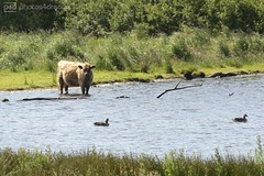 wild cow (photos4dreams) Tags: ostsee north germany norddeutschland photos4dreams p4d photos4dreamz photos meer sea sand strand holiday urlaub nordfriesland nf balticsea geltingerbirk