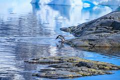 Antarctica-111124-954 (Kelly Cheng) Tags: antarcticpeninsula antarctica gentoopenguin pleneaubay pleneauisland animals color colorful colour colourful day daylight fauna horizontal landscape nature nopeople nobody outdoor penguins sea seacape sunny sunshine tourism travel traveldestinations vivid white