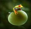 Hoppy Easter! (marianna_a.) Tags: happyeaster hopp ribbit frog egg sweating hard huge oversized green gold yellow psd composite fun hss mariannaarmata