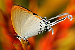 Orpheus Imperial (LindaAlisto) Tags: goldentailed hairstreak orpheus imperial cheritra c r felder 1865 lycaenidae theclinae cheritrini linda alisto lindzky philep philippine lepidoptera philippines butterflies butterfly