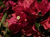 Bougainvillea (mkbls) Tags: flores flowers petals plantas plants natureza nature gardening jardinagem jardim garden minasgerais brazil limaduarte magenta bougainvillea buganvília