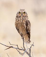 Short-eared Owl (female) (m_Summers) Tags: buho utah greatsaltlake nature shortearedowl marksummers wildbird wild asioflammeus seo bird outdoors nonbaited owl wildlife birdofprey