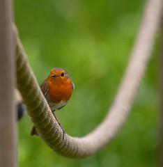 Local Robin.. (Adam Swaine) Tags: robinredbreast robin gardenbirds britishbirds englishbirds rspb wildlife woodland peckhamryepark canon spring animals parks uk england english british