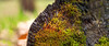 macropanorama (grushevich_ivan) Tags: industar61 индустар61 мох moss nature природа макропанорама macropanorama wood macro