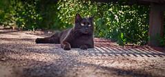 Spuntarello (Pepenera) Tags: gatto gato gatti cat cats