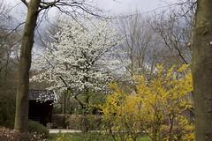 Witte Magnolia en Forsythia (ToJoLa) Tags: canon canoneos60d 2018 voorjaar lente spring flower bloem kleuren magnolia color ontrack wandeling valkenswaard noordbrabant bloesem forsythia