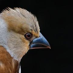 Hawfinch (chaz jackson) Tags: coccothraustescoccothraustes hawfinch finch bird haw nature wildlife suffolk