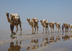 Afar tribe man and his camels caravan carrying salt blocks in the danakil depression, Afar region, Dallol, Ethiopia (berengere.cavalier) Tags: 1people abyssinia adult afar afardepression africa african animal beauty burn camel caravan carrying cattle color dallol danakil danakildepression day desert dry eastafrica ethio16172 ethiopia formations geothermal heat hell herd horizontal hornofafrica hot hotsprings lake landscape livestock load mammal men mine minerals mirror natural nature onemanonly oneperson onlymen outdoor outdoors reflection saline salt saltlake saltmine saltmining saltwork sky solitude sunset travel traveldestination volcanic wildlife afarregion