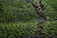 Tea Plantation (Rick Elkins) Tags: worker tea bag harvest walking woman plantation teaplantation hill rock plant leaves green stone munnar kerala india carrying