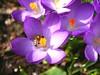 A honey bee inspecting a crkocus flower in my garden. (Bienenwabe) Tags: crocus crocusflower bee honeybee biene honigbine apis apismellifera apaceae krokus crocuscultivar iridaceae plant insect