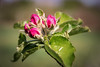 Nearly Blossom (Jez22) Tags: blossom bud nature plant fruit spring leaf closeup summer orchard color pink season growth apple flowers flora colorful bright seasonal copyright jeremysage england