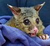 Young Possum (Uhlenhorst) Tags: 2010 australia australien animals tiere travel reisen